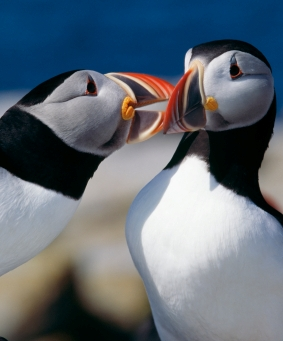 More puffins cropped
